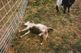 A Tennessee Fainting Goat..not dead, but temporarily paralyzed