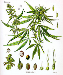The Many Names and Uses of Cannabis sativa