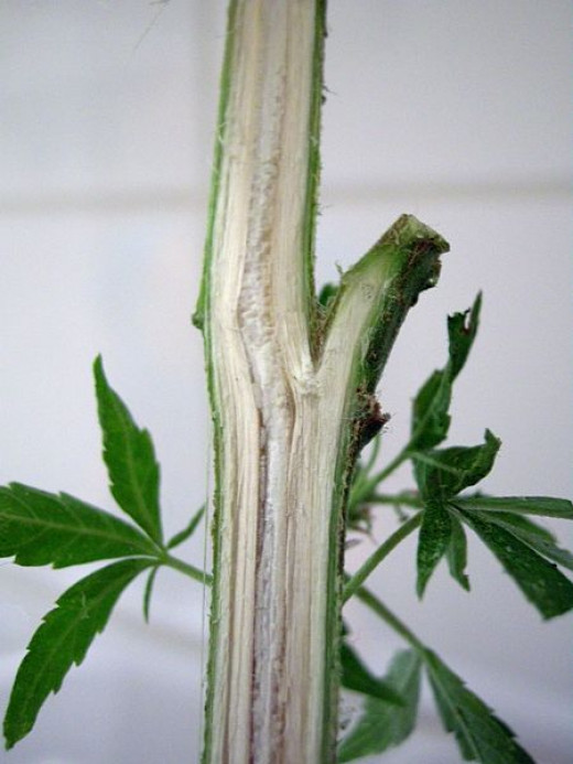 Detail of fibers in Cannabis stem.