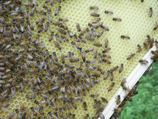 Queen honey bee is in the middle with a bit of a white mark on her back.