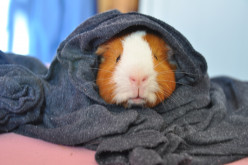 How To Make A Guinea Pig Home Easily