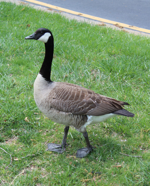 Geese have a regal demeanor.