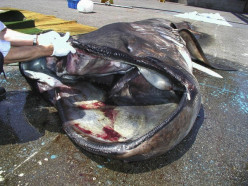 Have You Ever Seen A Megamouth Shark?