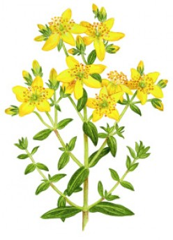 Why (Or Why Not) Drink St. John's Wort Tea