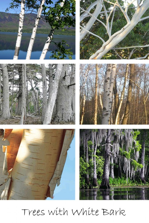Beech Tree Bark Identification