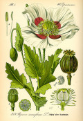 The History of Opium Poppy, Papaver somniferum L.