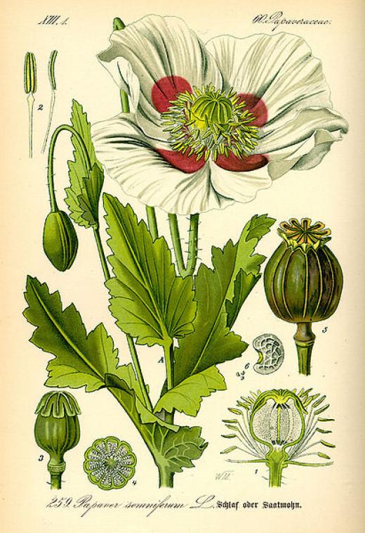 Opium poppy, Papaver somniferum L.