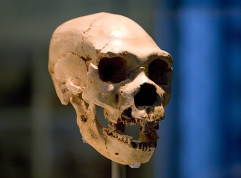 """""""Miguelón"""", one of the best preserved hominins found at Sima de los Huesos. He lived to be about thirty years old and may have perished from an infected tooth."""