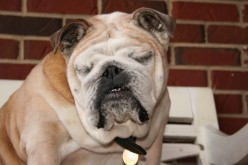 Raising Awareness about English Bulldog Health Problems