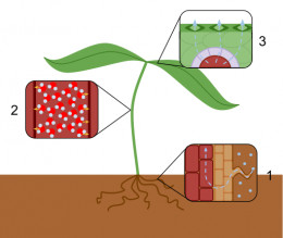 Transpiration overview: 1. Water flows passively from the roots to the xylem. 2. In the xylem, water molecules are formed in columns due to cohesion and adhesion. 3. Water then leaves the plant ultimately through the leaves.