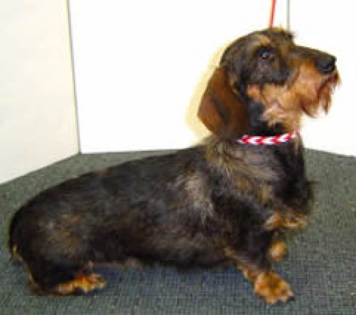 Hannah, a wirehaired, Standard Dachshund, was happy to model the Braided Leather Collar for our shop!