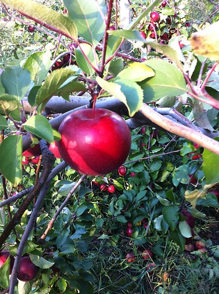 The apple tree provides fruit and shade - fitting metaphor for males.  Photo by Ashstar01