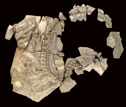 Type specimen of Concavenator.