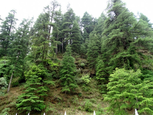 Daruka (Deodar or Cedar) trees surrounding the temple complex at Jageswar