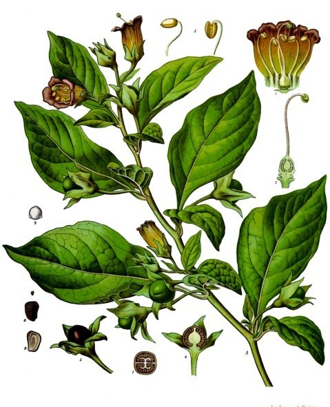 Atropa belladonna L., the deadly nightshade.