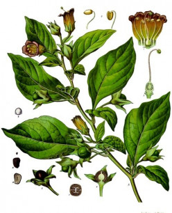 The Alluring and Fatal Deadly Nightshade, Atropa belladonna L.