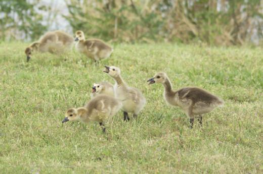 """Canada Goslings """"Mummy, Mummy, Mummy, Mummy!"""""""