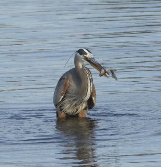 Great Blue Heron with His Crappie