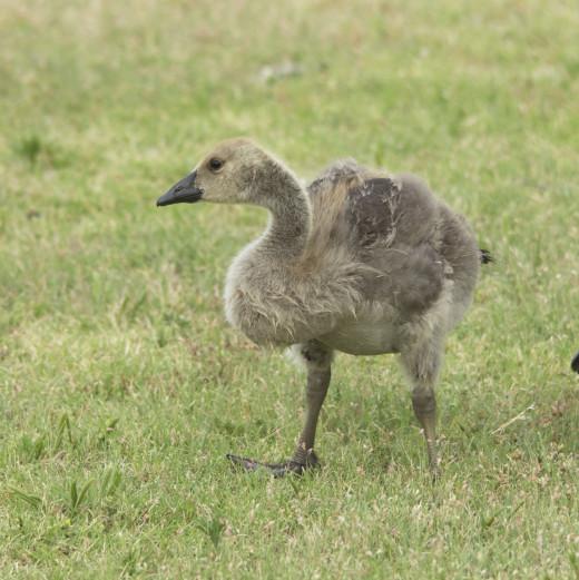 Pre-teen Gosling