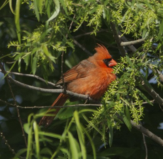 Male Northern Cardinal Hiding in a Tree