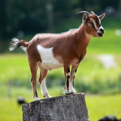 Should You Replace Your Lawnmower (With A Goat)?