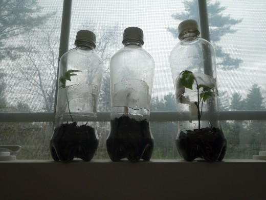 These bottles  fit nicely on the windowsill. and as the sapling gets bigger just pull the bottle longer.