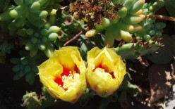 Another type of prickly pear. Note: The leaves on top belong to another plant.
