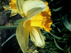 This is a picture taken of a single yellow blooming Daffadil in full bloom.