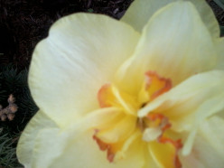 This is a picture of a bi color Daffodil in full bloom. Picture taken by me. Gardener Den.