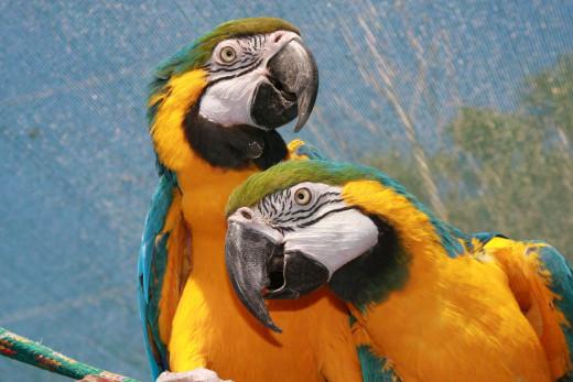 2 Macaw parrots