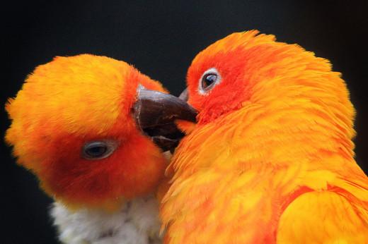 Parrot Kiss
