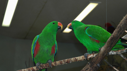Green Eclectus Parrots