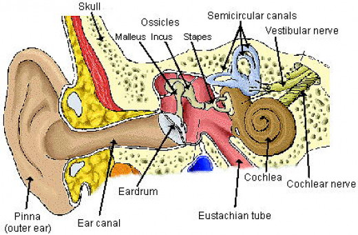 There are three parts to the ear, the outer, the middle and the inner ear.