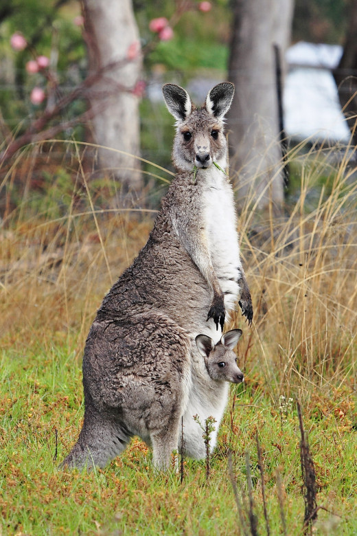 A kangaroo with baby (joey) in its pouch.