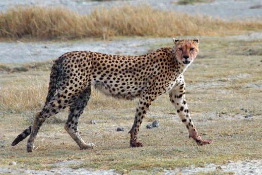 A cheetah.