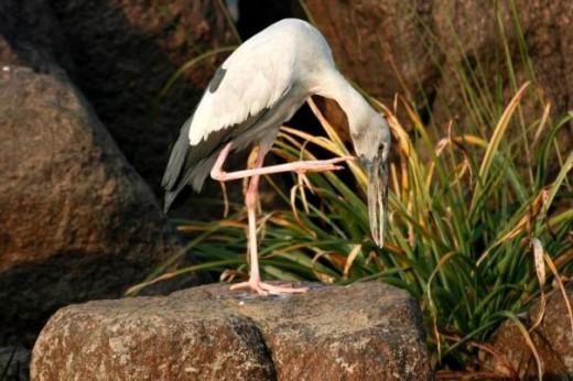Open Billed Stork