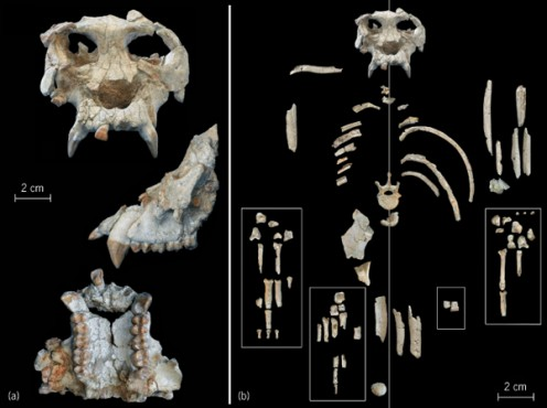 A close look at the type Pieralopithecus skull and skeletal fragments.