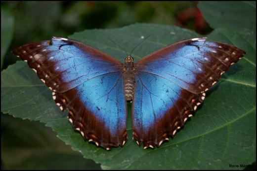 A morpho butterfly.