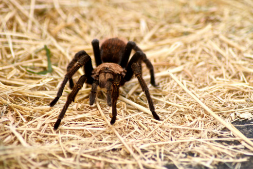 Tarantulas are actually gentle, docile creatures.