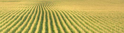 A typical corn monoculture.