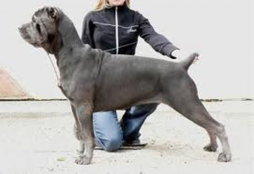 The Cane Corso dog breed represents a huge and intimidating looking canine. Truth is however that around it's owners these dogs are big babies.