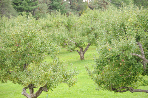 A mature apple orchard with nice green grass among the trees