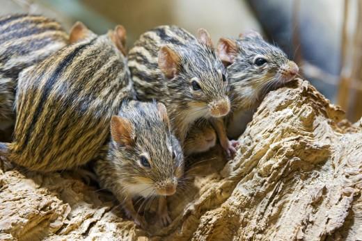 Zebra mice