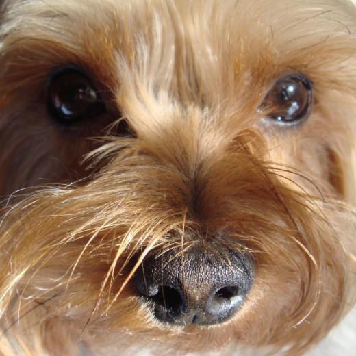 Close-up of those penetrating Yorkie eyes