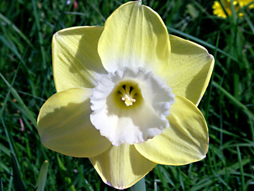 A daffodil with a white corona and a yellow perianth