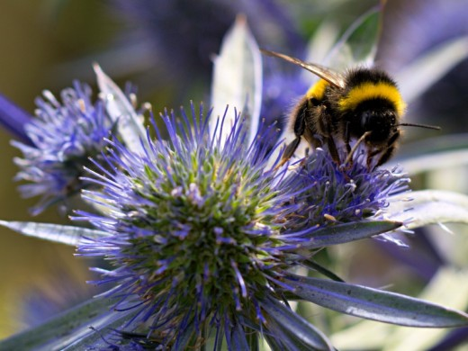 Sea holly is a deer-resistant, salt-tolerant, drought-tolerant and low-maintenance perennial.