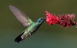 The Hardy Hummingbird