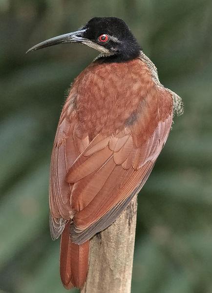 Female - Seleucidis melanoleucus
