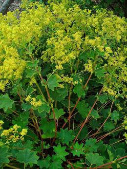 Another popular garden species