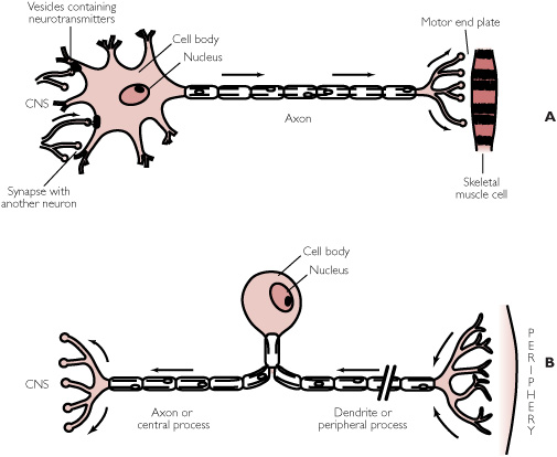 (motor neurone on the top and sensory neurone on the bottom).